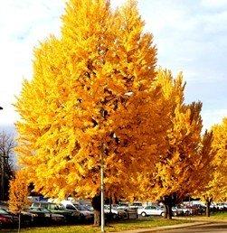 Ginkgo biloba Autumn Gold  PB28 (120/140)