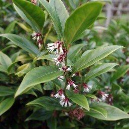 Sarcococca orientalis - PB5 (30/40)